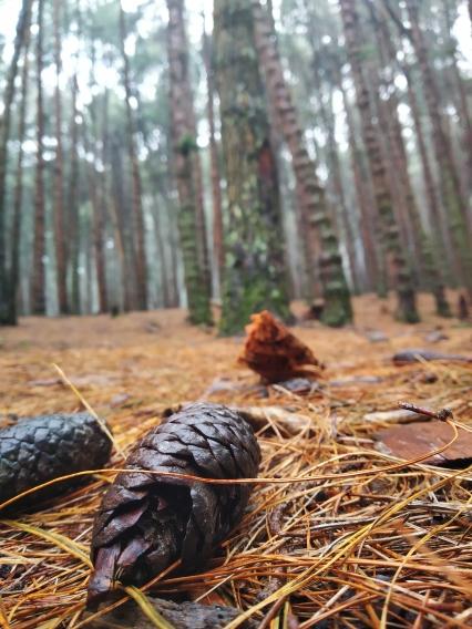 Fallen Pine cones
