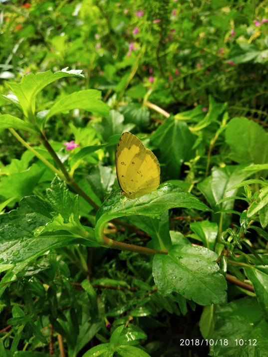 Common grass yellow (Eureme hecabe)