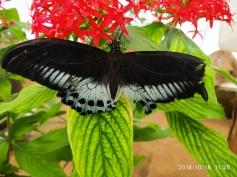 Blue Mormon (Papilio polymnestor)