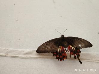 Crimson rose (Pachliopta hector)